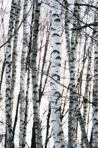 Birkenwald im Sonnenlicht - Fineart photography by Nadja Jacke