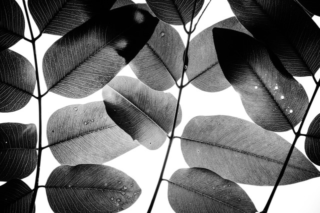 Experiments with Leaves, 2015, 1 - Fineart photography by Tal Paz Fridman