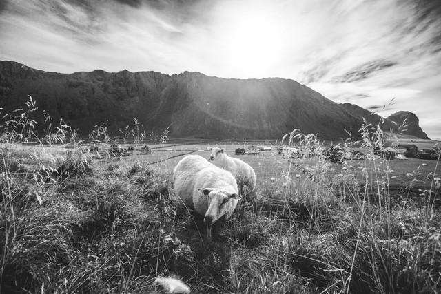 Sheepish style - Fineart photography by Christian Göran