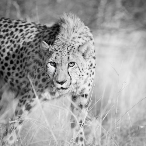 cheetah | namibia - Fineart photography by Dennis Wehrmann