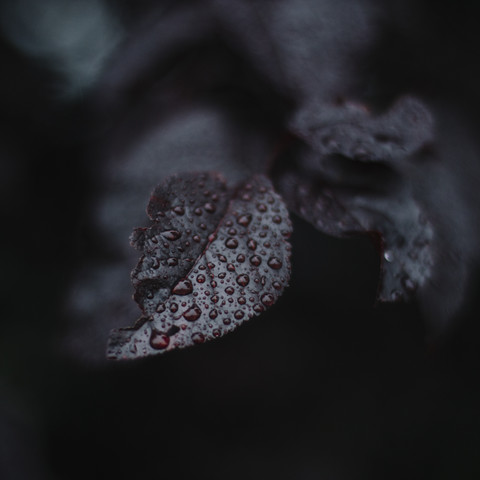 Foliage of the ornamental cherry in the rain with water droplets - Fineart photography by Nadja Jacke