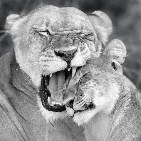 Mother`s love   lions khwai concession moremi game reserve - Fineart photography by Dennis Wehrmann