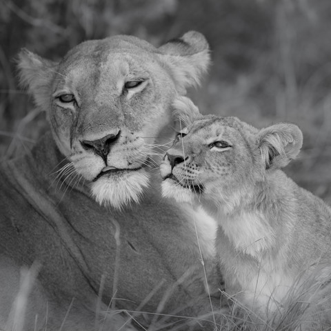 Lion mother with cub - Fineart photography by Dennis Wehrmann