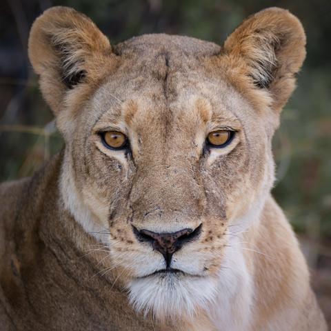 Portrait of a lion Lion II - Fineart photography by Dennis Wehrmann