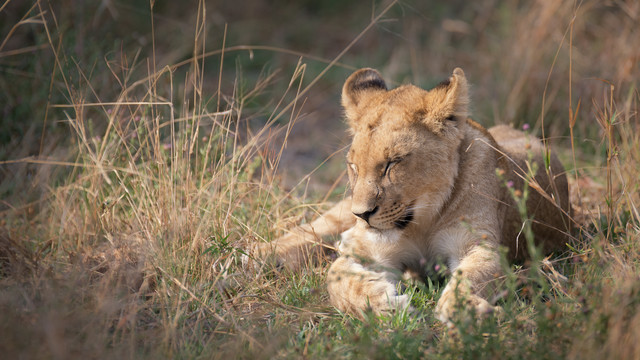 baby lion - Fineart photography by Dennis Wehrmann