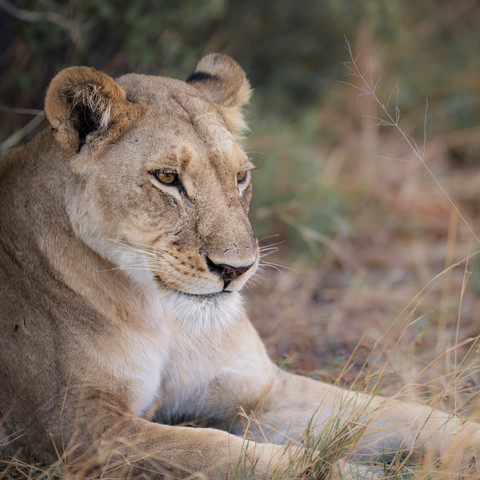 Lion in the grass - Fineart photography by Dennis Wehrmann