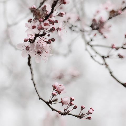 cherry blossom moments I - Fineart photography by Steffi Louis