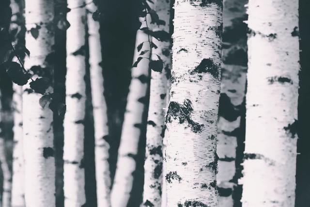 BIRCHES - Fineart photography by Monika Strigel