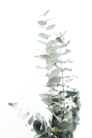 EUCALPYTUS WHITE II - Fineart photography by Monika Strigel