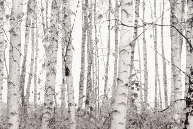 SILVER BIRCHES - Fineart photography by Monika Strigel