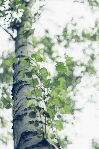 Tender fresh birch foliage in spring - Fineart photography by Nadja Jacke