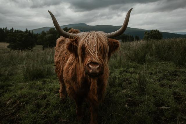 Wall Art Scottish Highland Cattle By Marina Weishaupt Premium Poster 30 X 20 Cm Photocirclenet