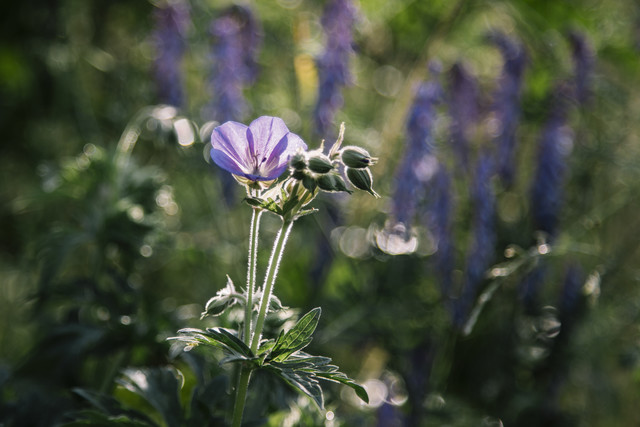 Cranesbill in the summer sun - Fineart photography by Nadja Jacke