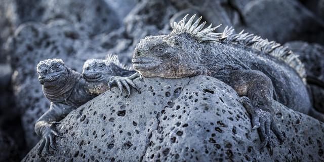 Iguana Familiy - Fineart photography by Andreas Adams