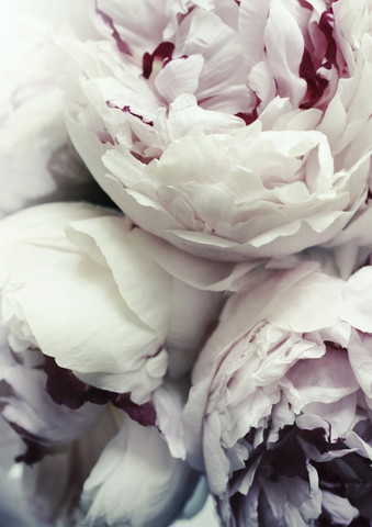 Peonies - Fineart photography by Christina Ernst
