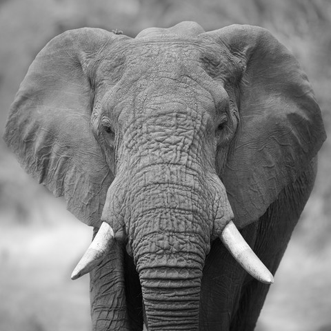 Elephant at he Khwai Consession in Botswana - Fineart photography by Dennis Wehrmann