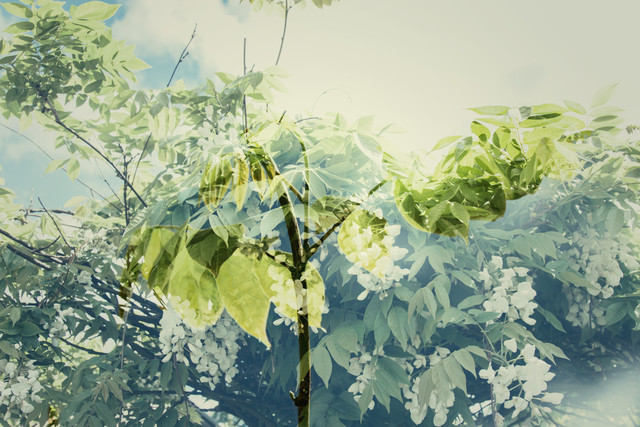 Wisteria in May, double exposure - Fineart photography by Nadja Jacke