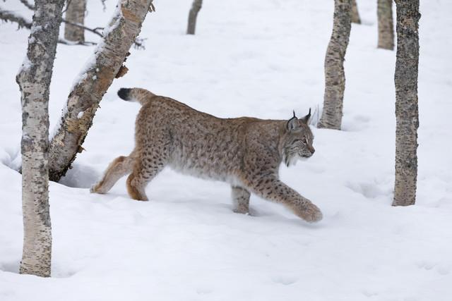 Lynx in winter landscape - Fineart photography by Dirk Heckmann