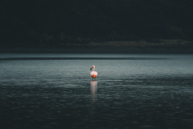 Flamingo in Patagonia - Fineart photography by Ueli Frischknecht