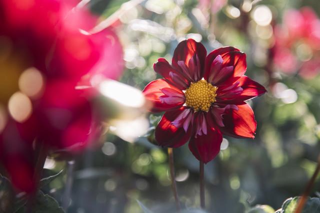 Dahlia shines in the sunlight - Fineart photography by Nadja Jacke