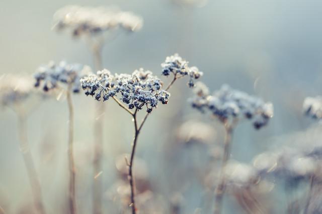 Frosty yarrow - Fineart photography by Nadja Jacke