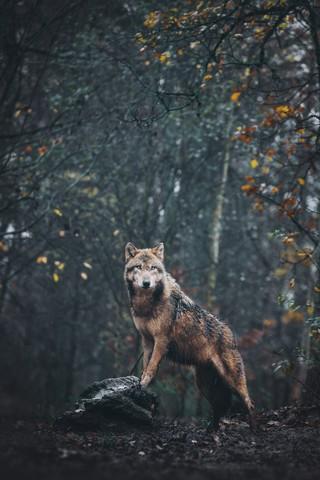Wolf - Fineart photography by Patrick Monatsberger