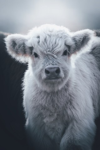 Little White Highland Cow - Fineart photography by Patrick Monatsberger