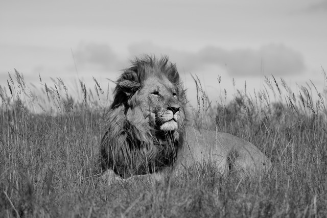 Lion King - Fineart photography by Martin Rau