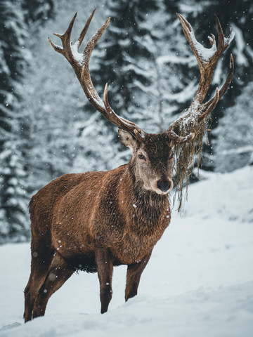 Deer with feed stock - Fineart photography by Daniel Weissenhorn