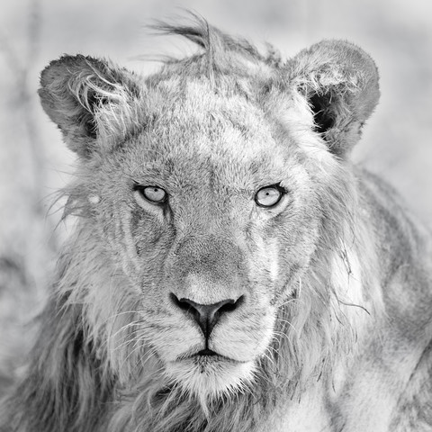 In the focus of the lion - Fineart photography by Dennis Wehrmann