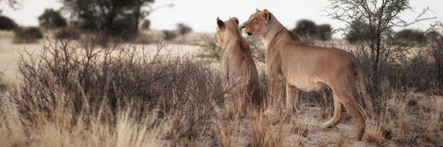 Lions watching fro prey - Fineart photography by Dennis Wehrmann