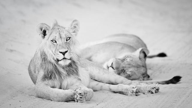 Kalahari roadblock - relaxing lions - Fineart photography by Dennis Wehrmann