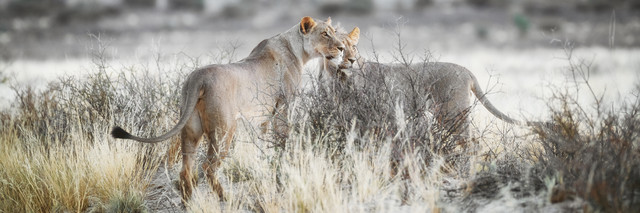 Lions searching for prey in the Kgalagadi Transfrontier Park - Fineart photography by Dennis Wehrmann