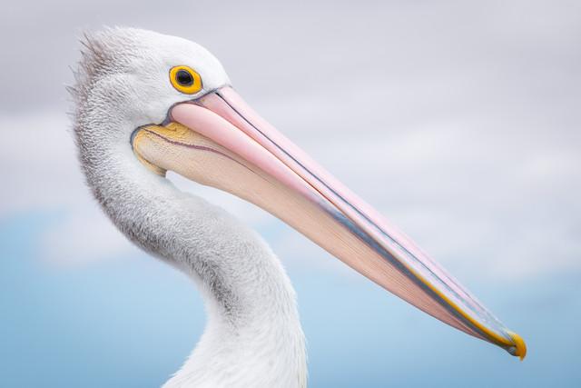 pelican - Fineart photography by Christoph Schaarschmidt