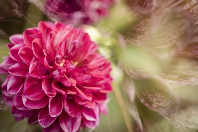 Double dahlia blossom - Fineart photography by Nadja Jacke