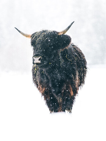 Scottish highland cattle in winter - Fineart photography by Lars Schmucker