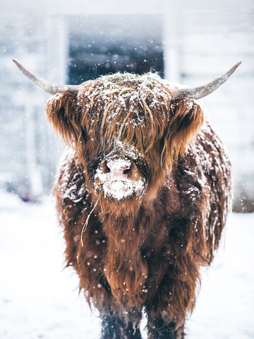 Brown highland cattle in the winter - Fineart photography by Lars Schmucker