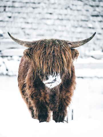 Galloway ox in winter - Fineart photography by Lars Schmucker
