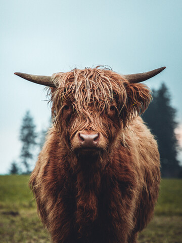 Galloway ox on the green meadow - Fineart photography by Lars Schmucker