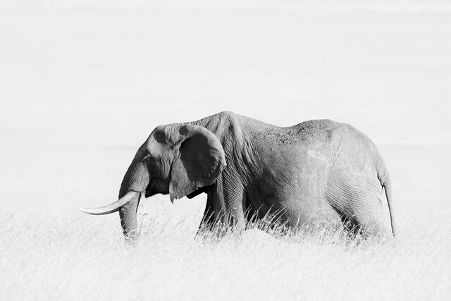 Elephant in high grass - High key - Fineart photography by Angelika Stern