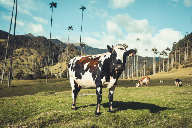 Cow Under Palm Trees - Fineart photography by Philipp Awounou