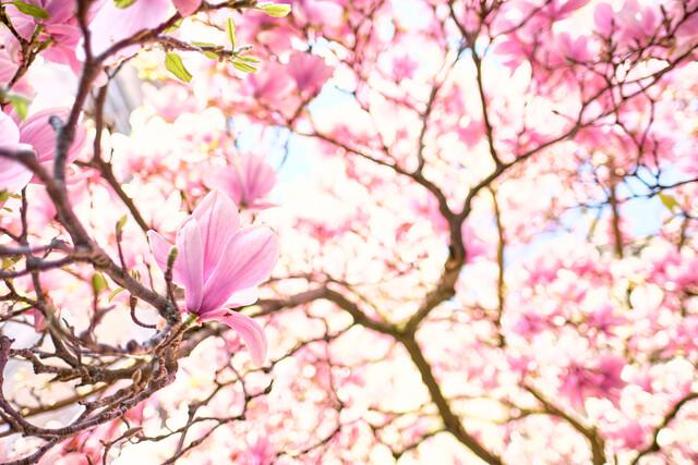 Magnolien im Frühling - Fineart photography by Sascha Faber