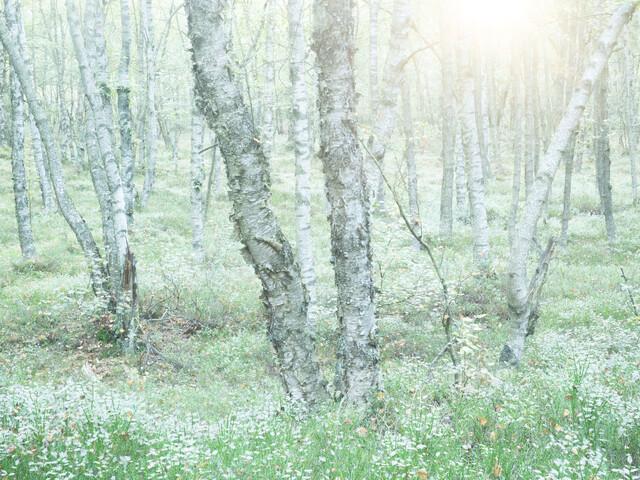 Birches - Fineart photography by Felix Wesch