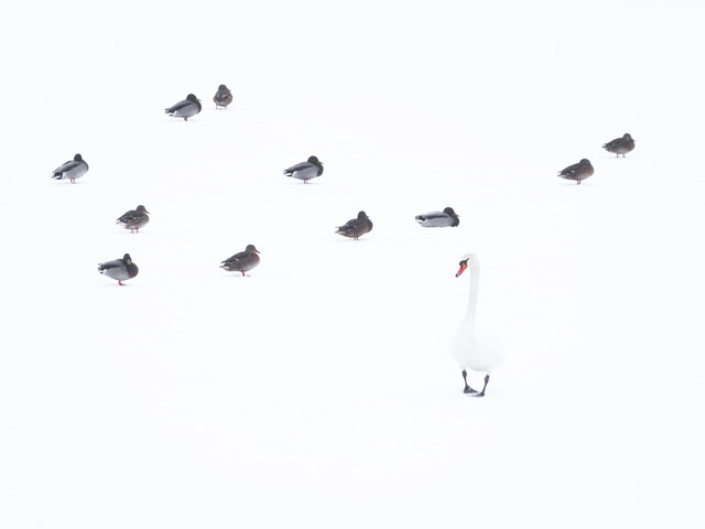 Mute swan and mallards - Fineart photography by Felix Wesch