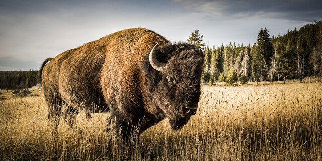 YOUNG BULL - Fineart photography by Andreas Adams