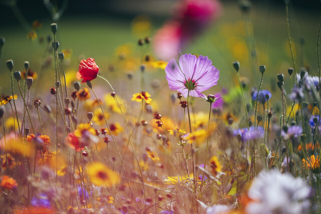 Flower meadows from wildflower mixtures - Fineart photography by Nadja Jacke
