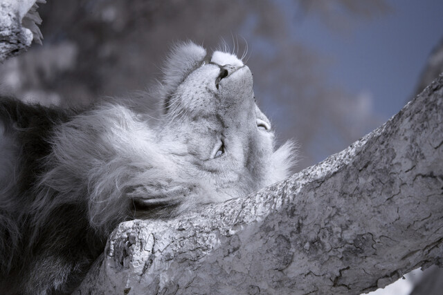 lazy - Fineart photography by Nicole Cambré