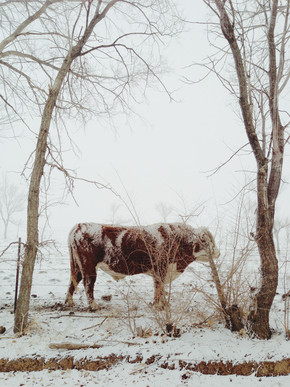 Kevin Russ, Snowy Bull (United States, North America)