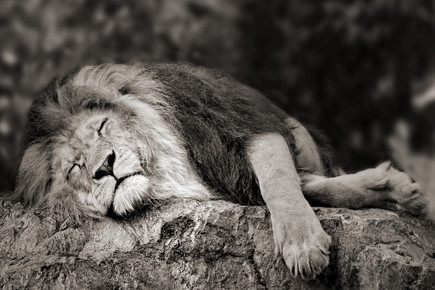 Elke Krone, schlafender Löwe (Albania, Europe)