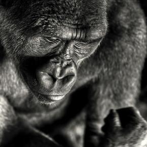 Regis Boileau, Man as a risen ape (Congo, Republic of the, Africa)